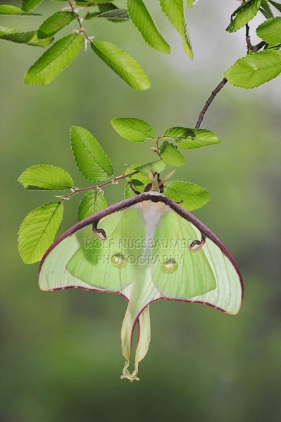 Luna Moth, Actias luna by © Rolf Nussbaumer Photography: Animal Insects, Moth Actia, Luna Moth, Amazing Natural, Birds Butterflies, Butterflies Moth, New Braunfels Texas, Actia Month, Beautiful Creatures