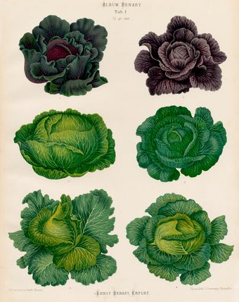 A Chromolithograph plate of Cabbage varieties taken from the Album Benary. The Album contains 28 colour plates in total of vegetable varieties by Ernst Benary which are named in the accompanying page in German, English, French and Russian.