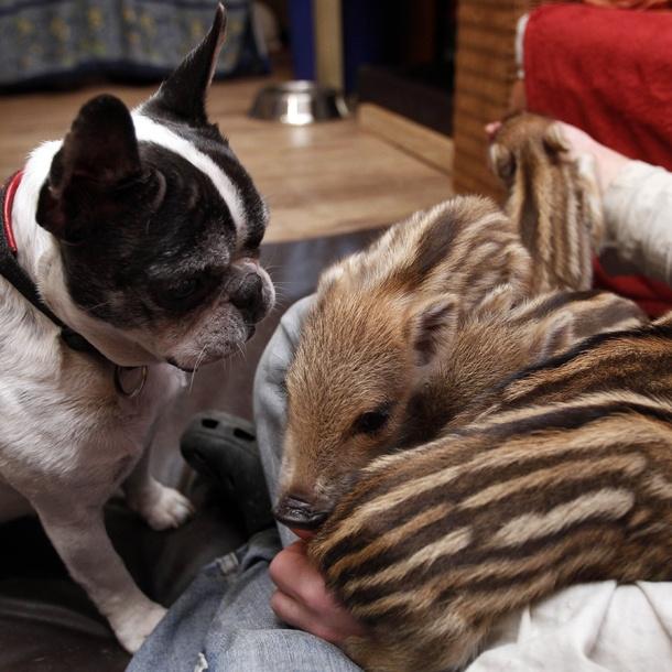 cute pigs :): Bulldogs Adoption, French Bulldogs, Three Little Pigs, Wild Pigs, Adoption Wild, Boar Piglets, Bulldogs Baby, Wild Boar, New Friends