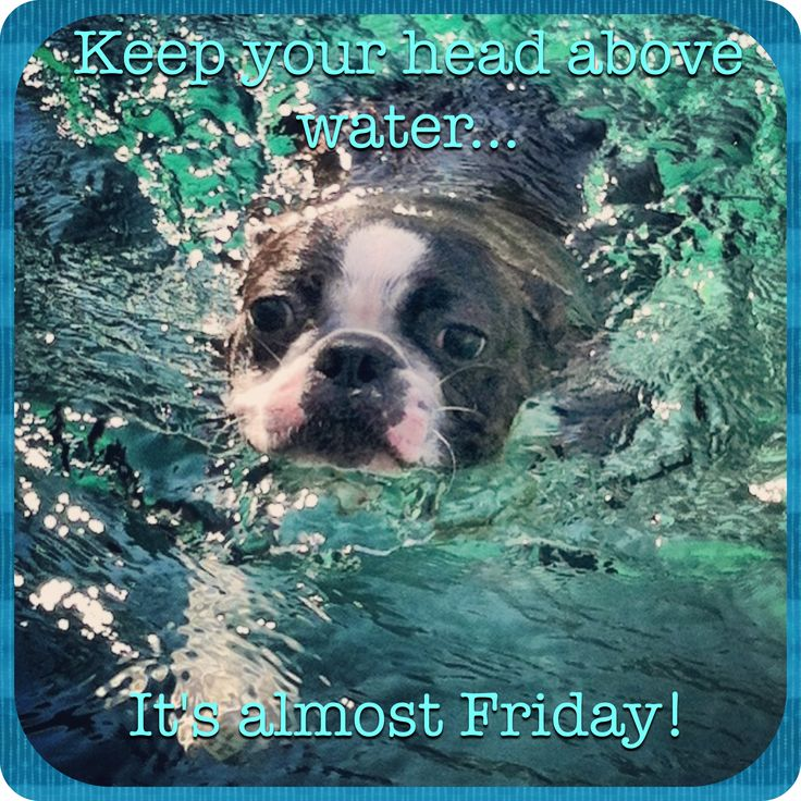 "Boston Terrier Meme - ""It's almost Friday !"" #bostonterrier"