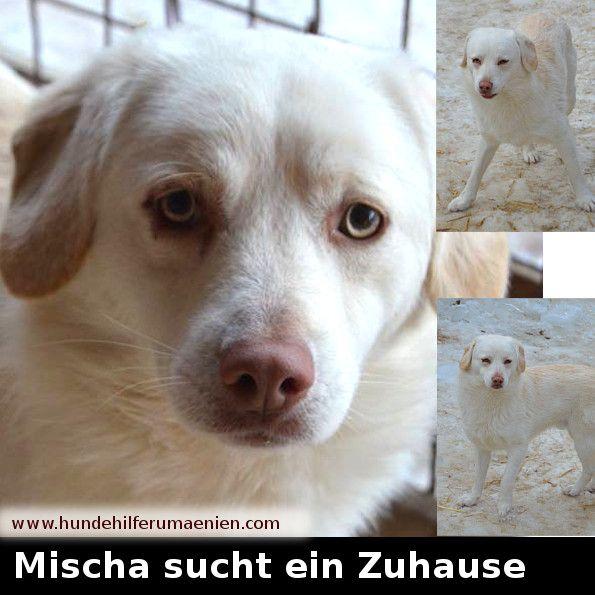 ️ Mischa sucht ein Zuhause  Mischa ist Anfang Oktober 2015 geboren er wird mal ca 50 cm groß werden. Er ist freundlich, etwas schüchtern zu Anfang. Geimpft, entwurmt, gechipt und mit einem EU-Ausweis wartet Mischa auf sein Zuhause. #zuhausegesucht #suchezuhause #tierschutz #hundevermittlung #dogs #dog #adoption #animalshelter #tierheimtiere #hundefreund #hundeleben #hundesucheneinzuhause #tiervermittlung #hundeliebe