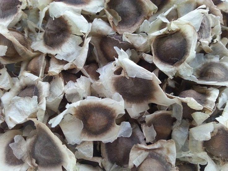 Moringa oleifera. O pó da semente é usado na purificação da água.