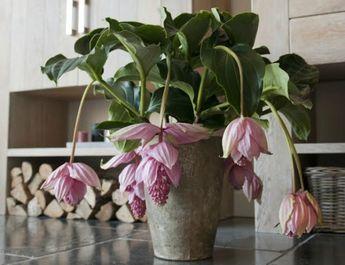 Si ya te manejas bien con tus plantas de interior tal vez te interese avanzar un poco más con estas flores exóticas para cultivo en interior