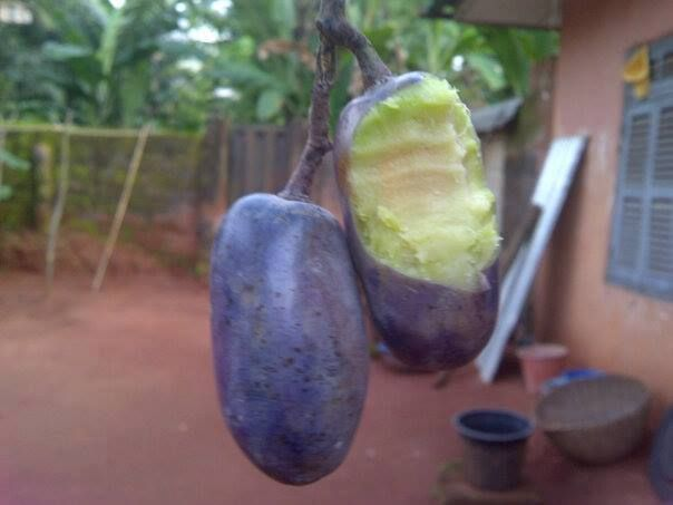 African Pear A K A Ube In Nigeria Usually Roasted Or