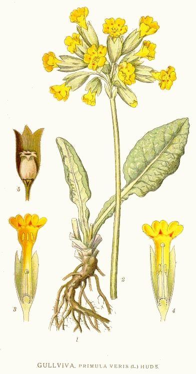 Die Blume des Jahres 2016 ist nicht nur schön anzuschauen, sondern auch lecker und gesund. Sie hilft bei Magnesiummangel, löst Schleim und kann sogar gegen Kopfschmerzen wirken.