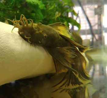 Plecostomus Green Dragon