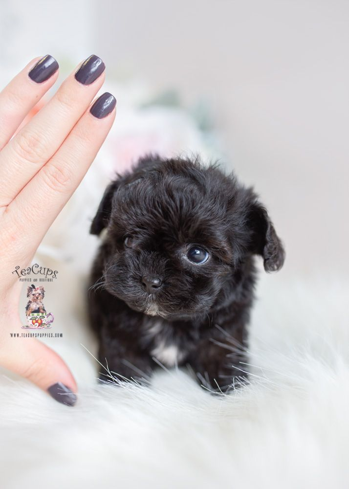 Black Maltipoo Puppy Teacup Puppies 305 A Maltipoo Puppy Teacup Puppies Maltipoo Dog