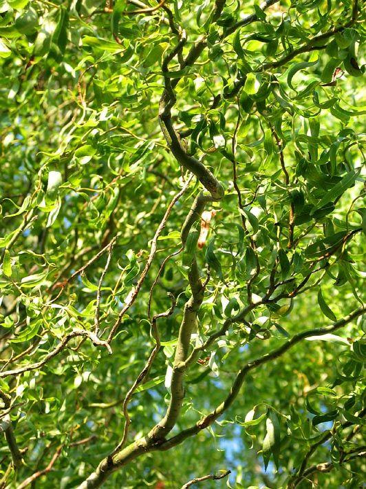 De krulwilg gedijt goed in de zon én op vochtige grond, lees ik, dat komt goed uit. Ik heb hier wat takken in een vaas staan, die nog wortel moeten schieten en dan naar de tuin kunnen. http://www.tuinkrant.com/plantengids/bomen/11726.htm