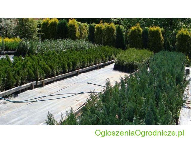 Sprzedam Tuje Cieszyn, Brabant, Alumii, Conica, Grasston, K�rnik, Grasston Cieszyn Cieszyn - Og%u0142oszenia Ogrodnicze | Gie%u0142da | Firmy Ogrodnicze