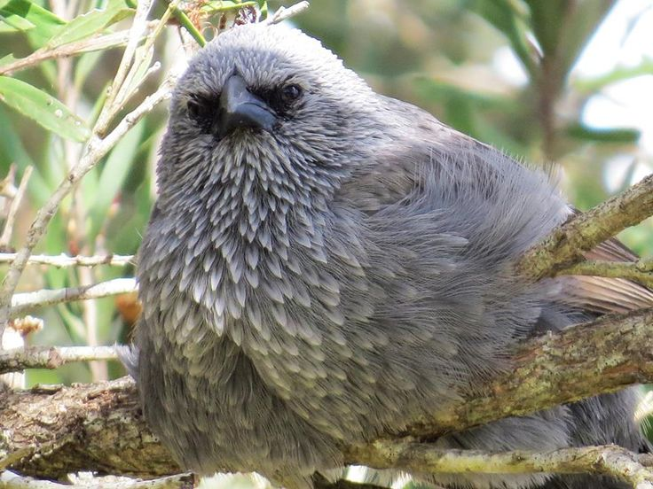 The Apostlebird (Struthidea cinerea), also known as the Grey Jumper, is a quick-moving, gray or black bird about 13 inches (33 centimetres) long. It is a native to Australia where it roams woodlands, eating insects and seeds at, or near, ground level./ by Allan Honor