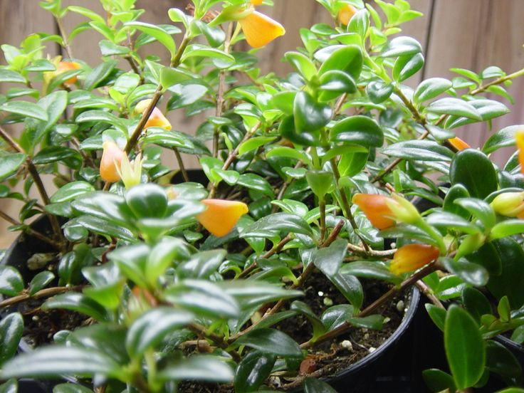 goldfish house plant | this goldfish plant from cuttings was easy and fun. This unique plant ...