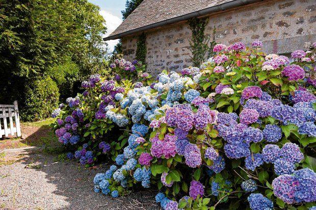 Hortensja piękna cały rok. Jak pielęgnować hortensję w ogrodzie i na tarasie