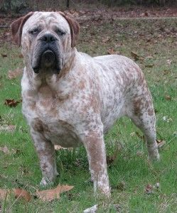 Olde English Bulldogge -- supposedly a new breed created by combining the English Bulldog, Am. Pit Bull, Bull Mastiff and Am. Bulldog. Question: Where did it get the cattledog coat? #oops