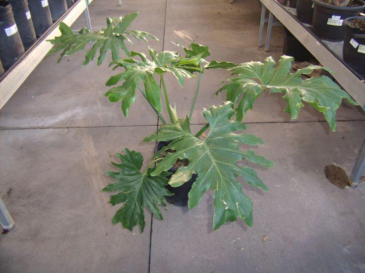 Split Leaf Philodendron Root System | Split Leaf ...