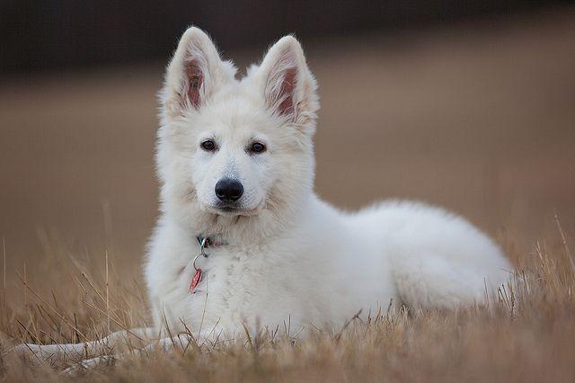 White German Shepherd Dog / Berger Blanc Suisse
