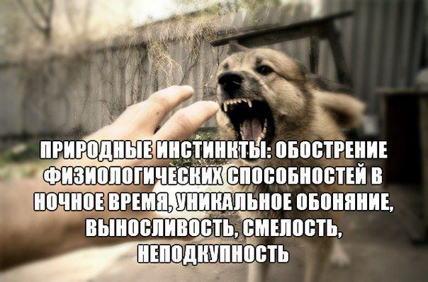 служебные собаки - самые верные и надёжные охранники!