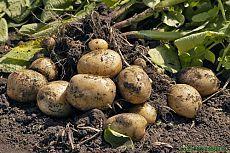7 способов выращивания картофеля | Азбука садовода
