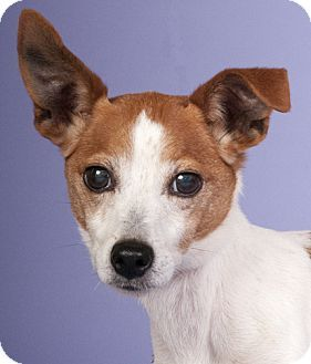 Chicago, IL Jack Russell Terrier Mix. Meet Spinks, a dog