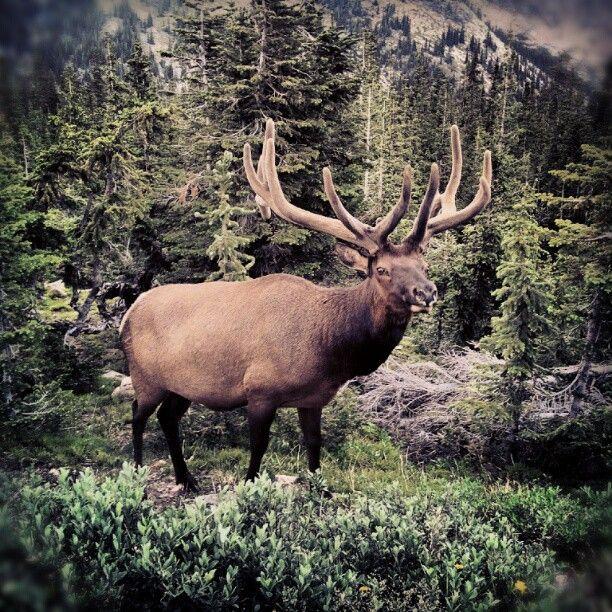 1000+ Images About FMAH Buglin' Elk On Pinterest