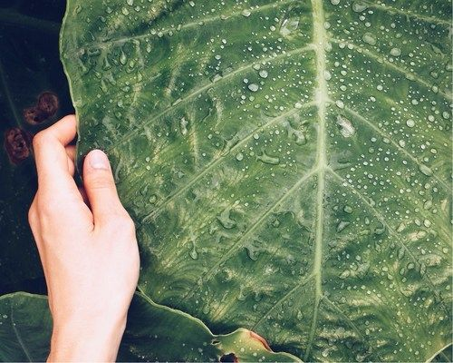 Large raindrops fell on this large leaf.