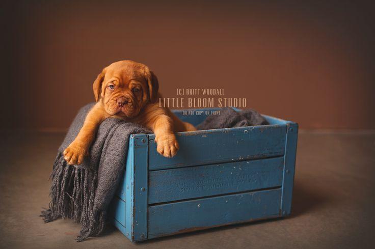 Puppy Dogue de Bordeaux   Photography by Britt Woodall   www.littlebloomstudio.com
