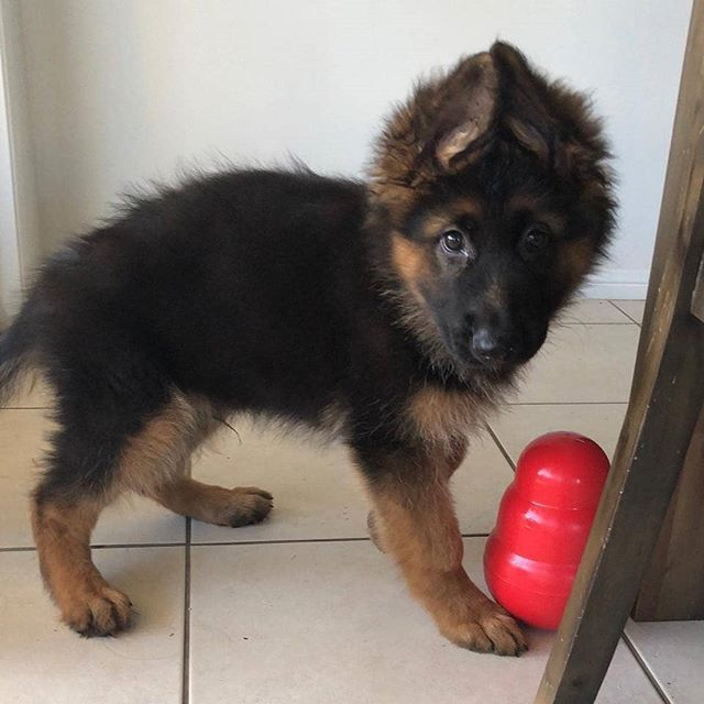 You Re Not Thinking About Taking My Kong Are You Niko The Gsd
