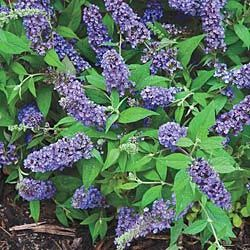 Blue Chip Dwarf Butterfly Bush  Flowers All Summer!  Attract butterflies and hummingbirds to your patio!Also excellent for smaller gardens and a mixed border.Compact plant habit stays dense and tidy all year long,and continually in bloom all summer. Enjoys full sun.Grows 2-3 ft. tall with an equal spread. Potted. Zones5-9.