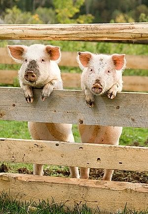.True Friendship, Friends Love, Best Friends, Farms, Pigs, Real Friends, True Stories, Animal, Friends Quotes