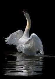 cisnes salvajes - Google Search