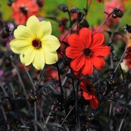 Dahlia Mystic en Collection Les fleurs simples aux coloris lumineux semblent s'échapper du feuillage pourpre foncé presque noir.