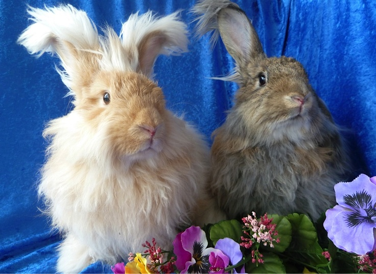 Molson and Eskimo, Angora rabbits for adoption