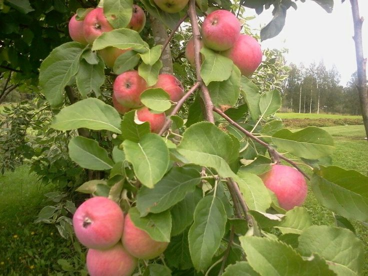 Omenia tulee