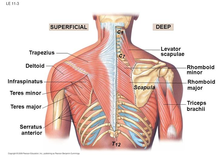 Image Result For Infraspinatus Teres Minor Teres Major