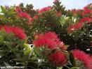 A kiwi Christmas tree
