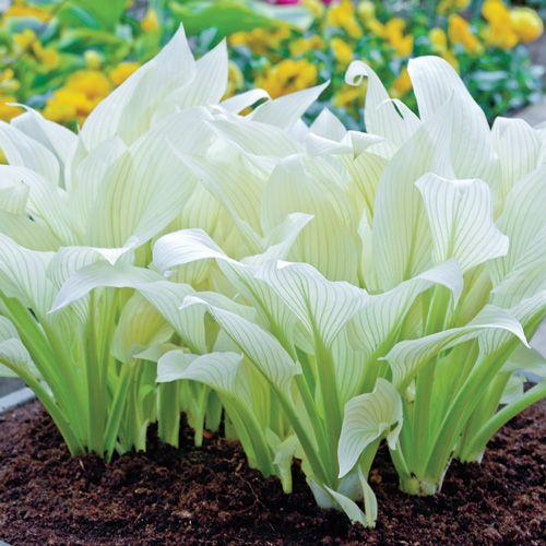 Buy Hosta White Feather at Brecks Wholesale