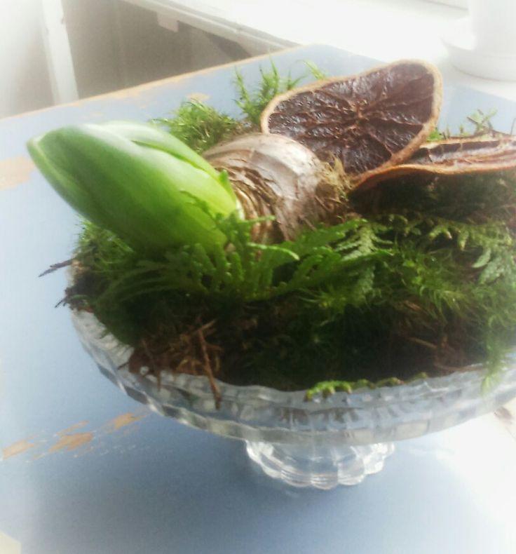 Hyacint,  mossa och litr torkade apelsinskivor.