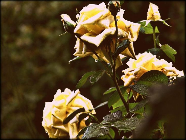 YELLOW ROSES AND RAIN by PHOTO@LORIS #flowers #valmarecchia #nature