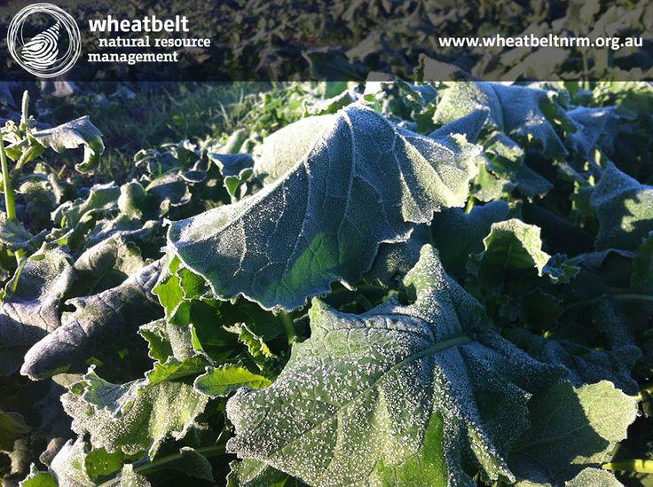 Wheatbelt frost ...