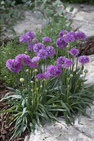 Lilac Drumstick Thrift