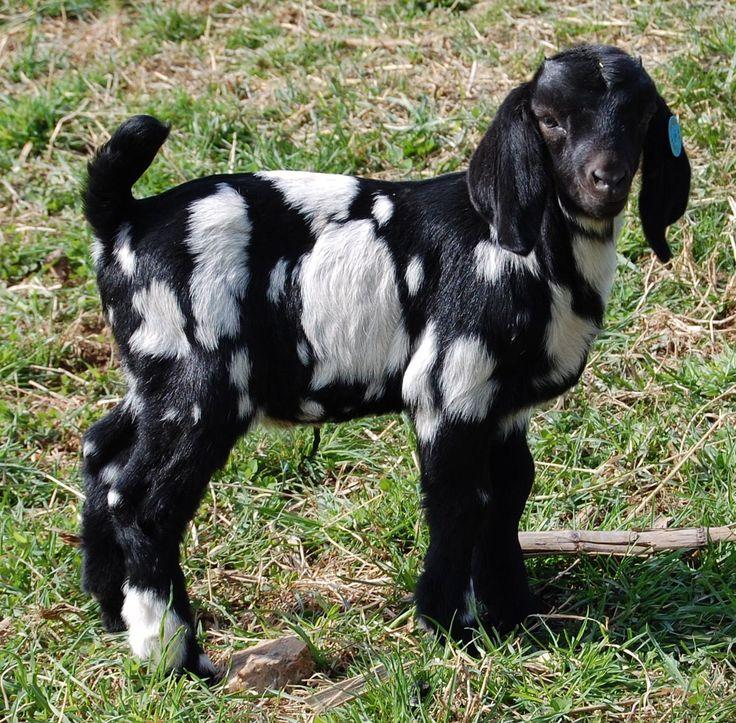 Boer Goat   Rebel Ridge Dream On - Polka Dot Boer Goat Buck