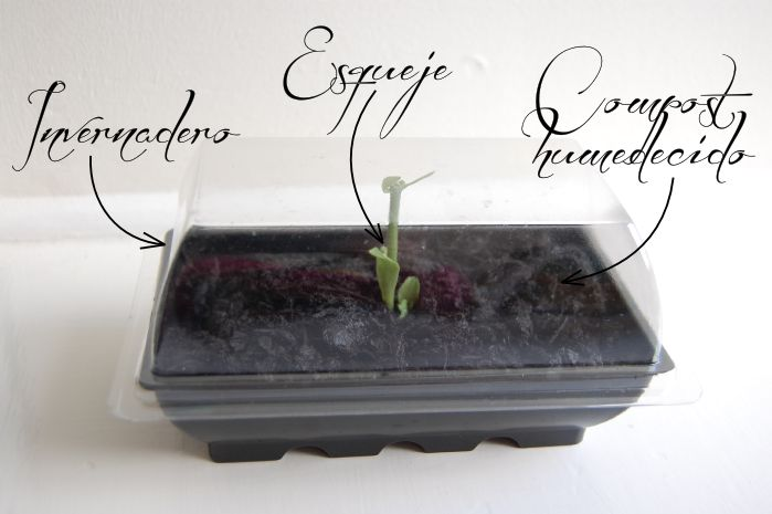 Plantando esqueje de kalanchoe