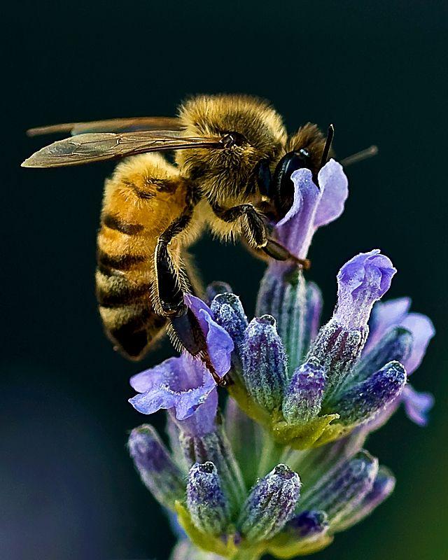 Two of my favorite things…bees and lavender. #Bienen www.apidaecandles.de