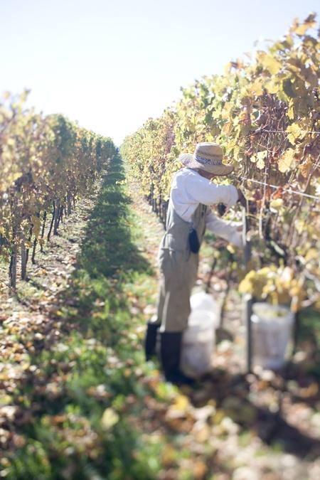 Mornington Peninsula_Vineyards and Wineries_Montalto_Harvest, Victoria, Australia.