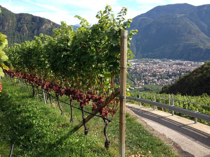 Wonderful #Gewürztraminer on the hills above #Bolzano #Rottensteiner #winery #wine #winelovers #SouthTyrol