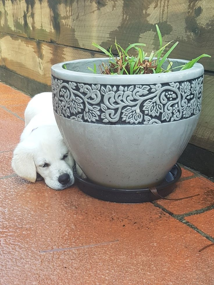 Our water loving, Willow. 10 weeks old #willowthewhite #labrador #labradorpuppies #goldenretriever #goldenpuppies #puppies #cute #ilovemydog #sofreakingcute #puppyeyes #goldenretriever #goldenpuppies #puppies #cute #ilovemydog #sofreakingcute #puppyeyes #waterpuppy