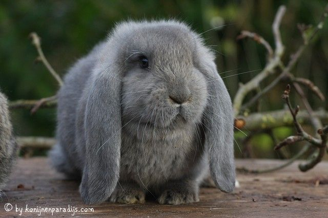 Momo, what a beauty! Bluegray French lop-eared bunny