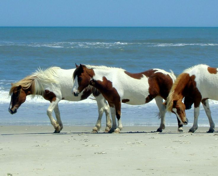 This national park on Assateague Island MD not only has a beautiful beach, a lighthouse, and wonderful campsite/hiking trails, it also has wild ponies!  Just a great place to visit!