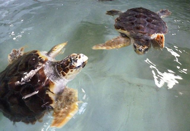 Un lâcher de homards et deux nouvelles tortues Caouanne au Océarium du Croisic