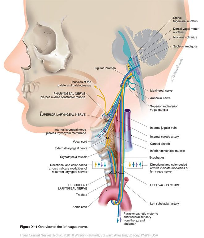 15 best CN X - Vagus images on Pinterest | Anatomy, Anatomy ...