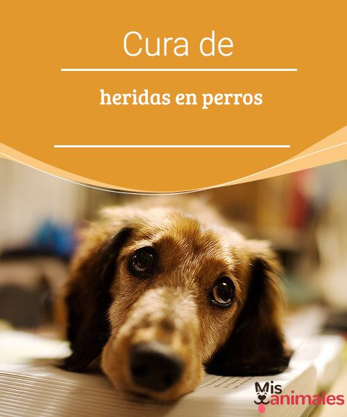 Cura de heridas en perros  En caso de que tu mascota se raspe o corte es bueno que sepas cómo atenderlo, hablamos un poco de la cura de heridas en perros. #heridas #curaciones #salud #atender